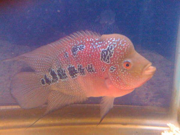 6inch flowerhorn fish