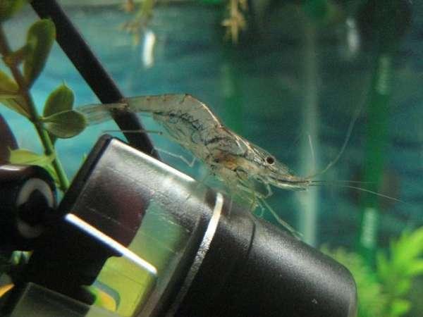 MY shrimp!!! fish