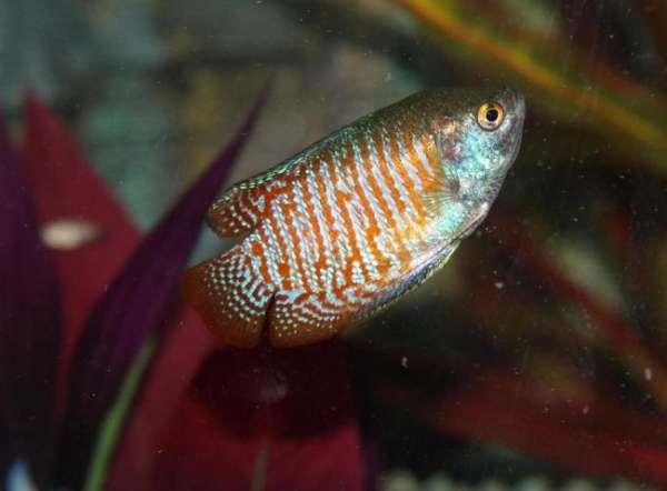 My Gourami fish