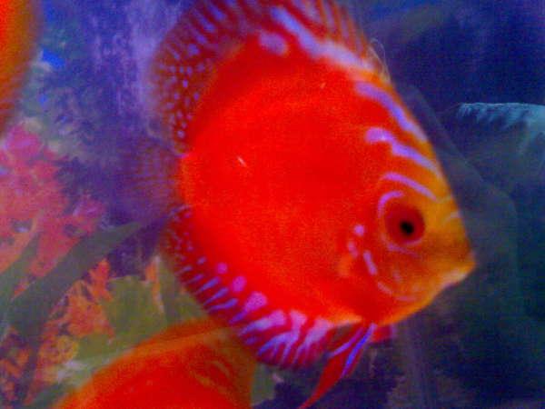 my discus fish