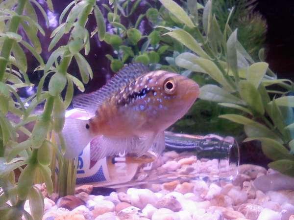 baby jack fish
