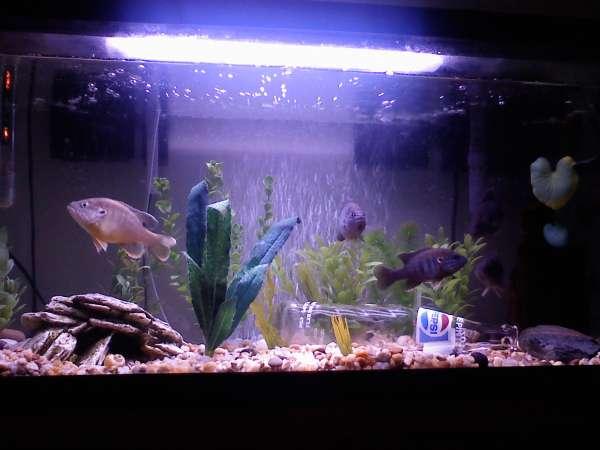 green sunfish fish