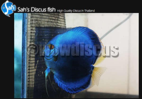 Blue Diamond Discus Fish fish