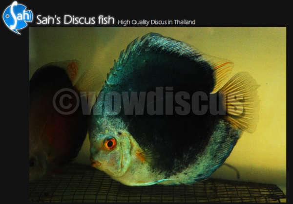 Blue Jean Discus Fish fish