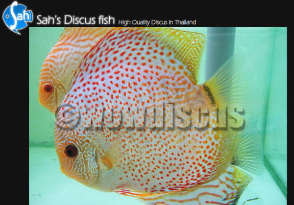 Leopard Discus Fish fish