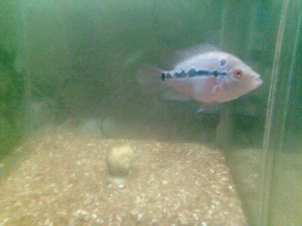 FH2 fish