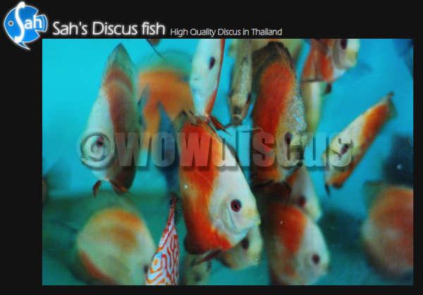 New Stock Discus Fish fish