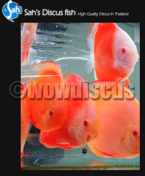 Red Melon Discus Fish fish