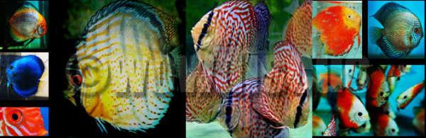 Discus Fish fish