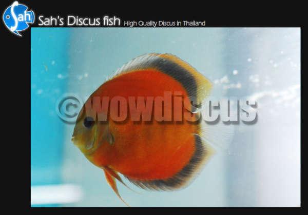 San Merah Discus Fish fish