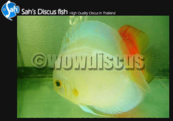 White Diamond Discus Fish fish