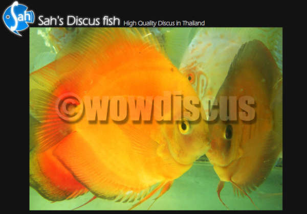 Yellow Discus Fish fish