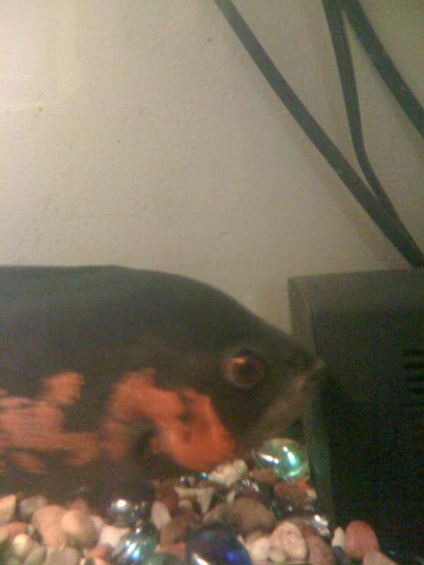 oscar fish fish