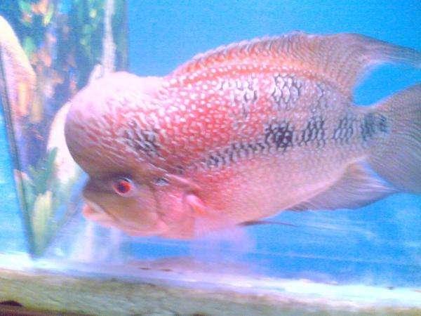 jin hua fish