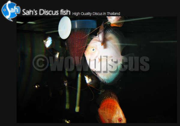 White Discus Eatting fish