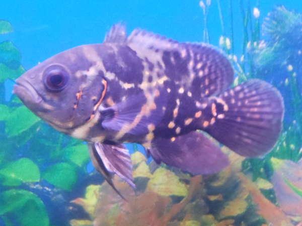 Mohawk O fish