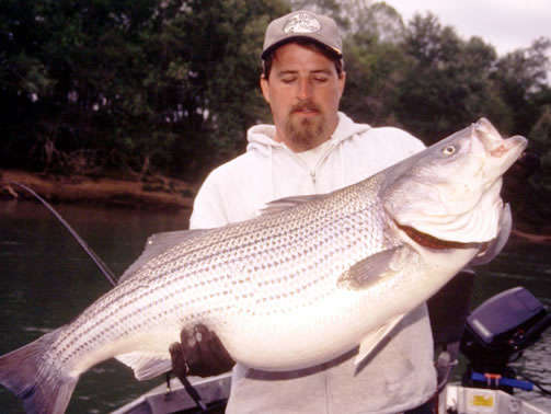 Lake Cumberland Striper fish