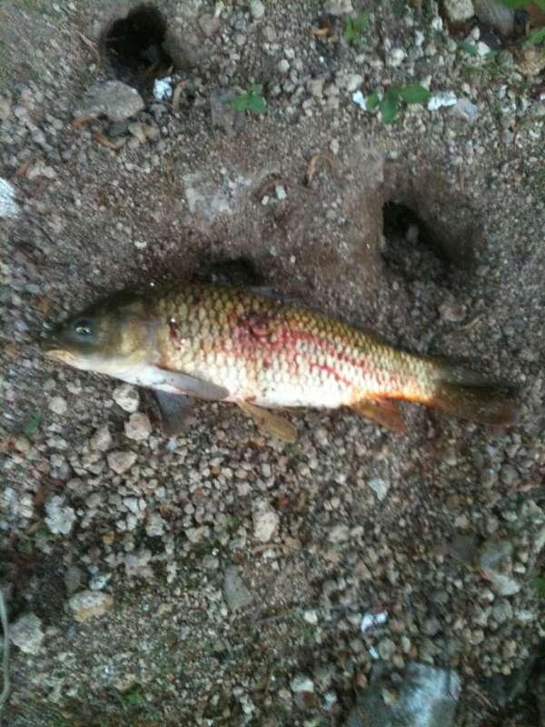 bowfishin fish