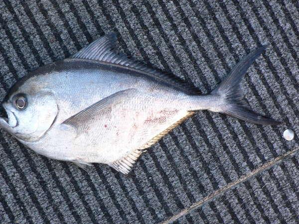 Rays Breem fish
