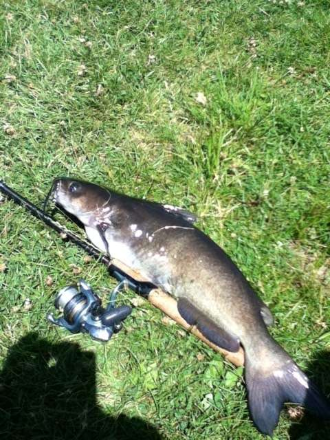 5# Catfish fish