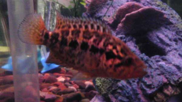 jaguar cichlid fish