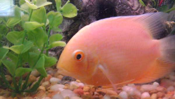 severum cichlid fish