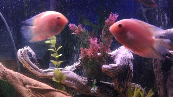 severums fish