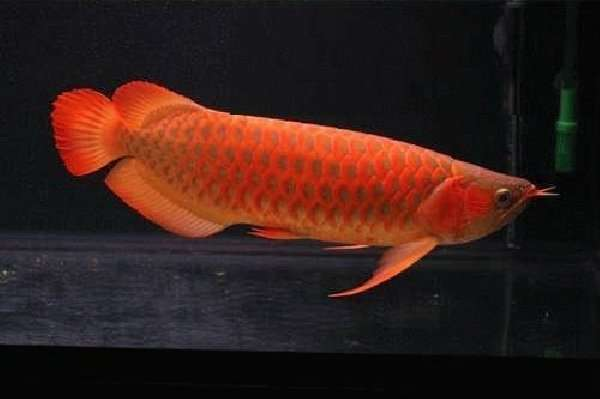 Super red arowana fishes and many others for sale rate for Arowana fish for sale online