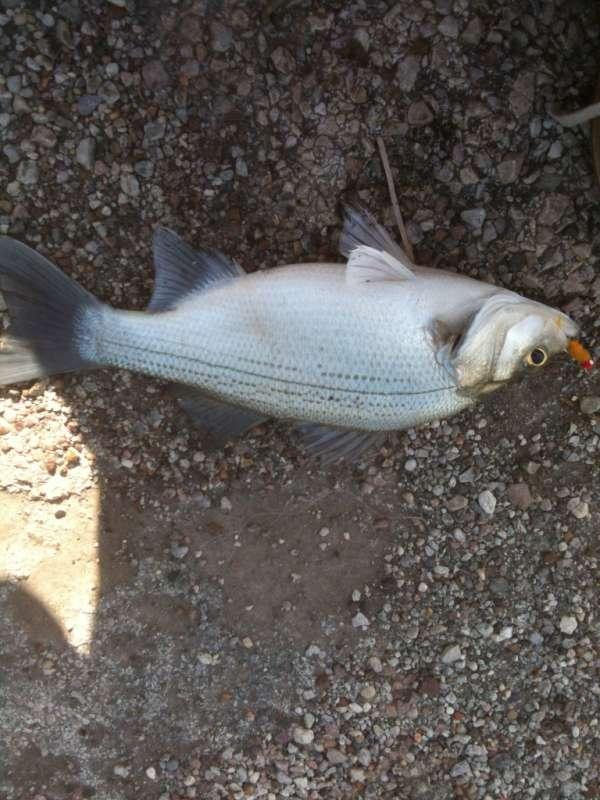 my 15 inch white bass fish