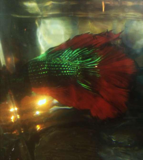 SIR HENRY fish