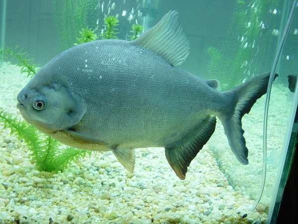 gentle pacu fish