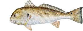 frankinfish fish
