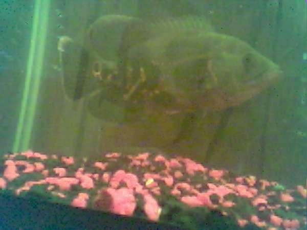 Andoram the Oscar fish