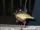 tbaggin fish