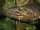cichlasoma managuense - astronotus ocellatus / tiger oscar fish