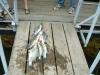 Table Rock Stringer fish