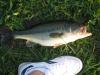 Largemouth fish