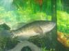 Gobi fish