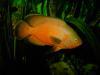 red oscar albino / astronotus ocellatus albino fish