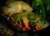 oscars / astronotus ocellatus + cichlasoma managuense fish