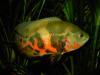 tiger oscar / astronotus ocellatus fish