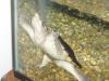 GAMMORAH fish