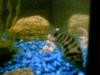 Male Convict fish