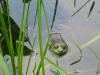 frog pond pic fish