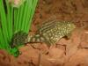 Bristlenose Pleco fish