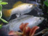 Male Platinum Sailfin Molly & Red/Silver Sailfin Female Molly fish