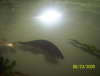 African Knife Fish fish