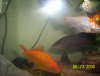 Gold fish and African knife fish fish