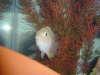 Pink convict fish