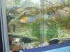 Blue Ram fish